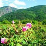 Карлово и розите